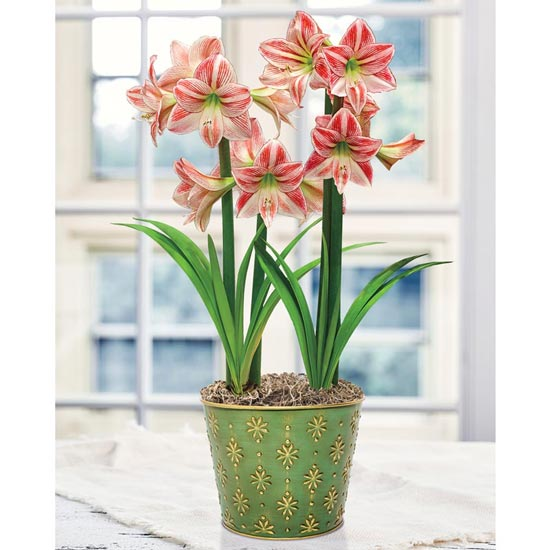 Fairy Tale Amaryllis Duo In Gilded Green Pot