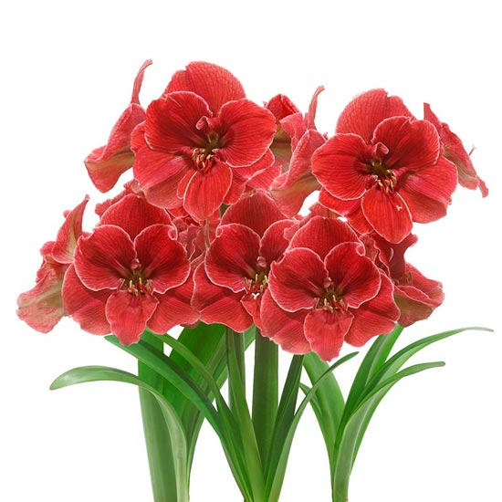 Magical Touch Amaryllis