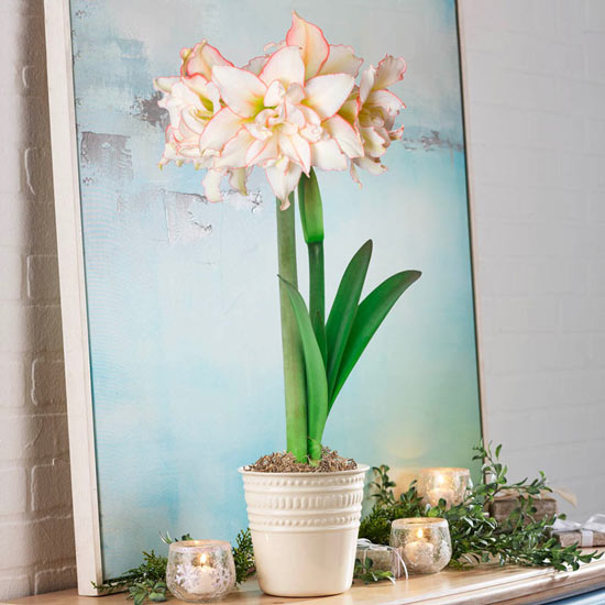 Harlequin Amaryllis Single in Cream Pot