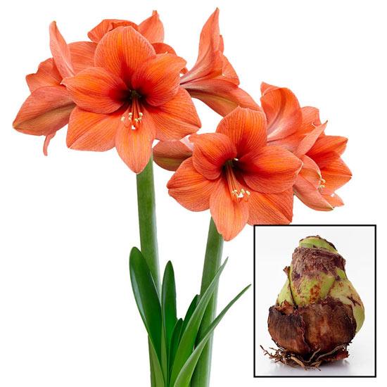 Desire Amaryllis Amaryllis 26/28cm Bulb
