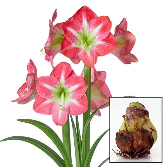 Exposure Amaryllis Amaryllis 26/28cm Bulb