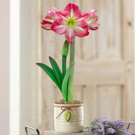 Exposure Amaryllis In Ceramic Pot