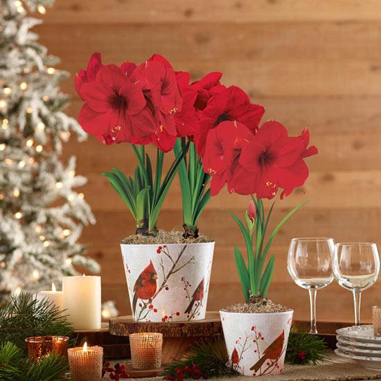 Miracle Amaryllis in Cardinal Pot Single and Duo