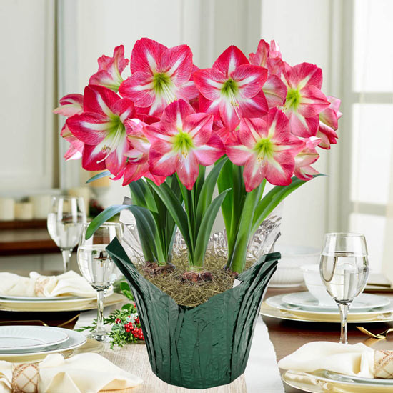 Exposure Amaryllis in Foil Wrapped Pot