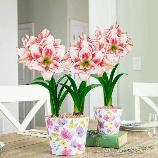 Elvas Amaryllis in Floral Pots