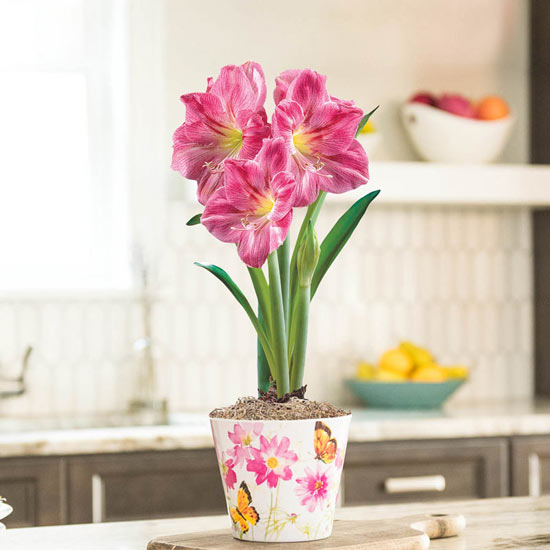 Candy Floss Amaryllis in Butterfly Prairie Pot
