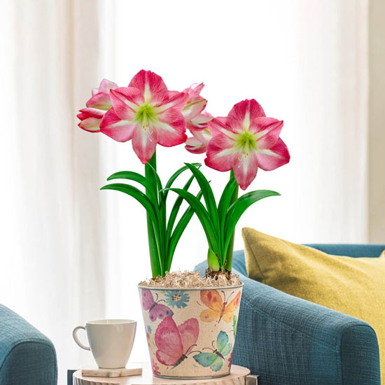 Exposure Amaryllis Duo in Watercolor Butterfly Pot