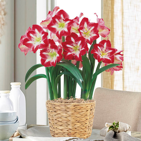 Twinkle Amaryllis Single & Triple