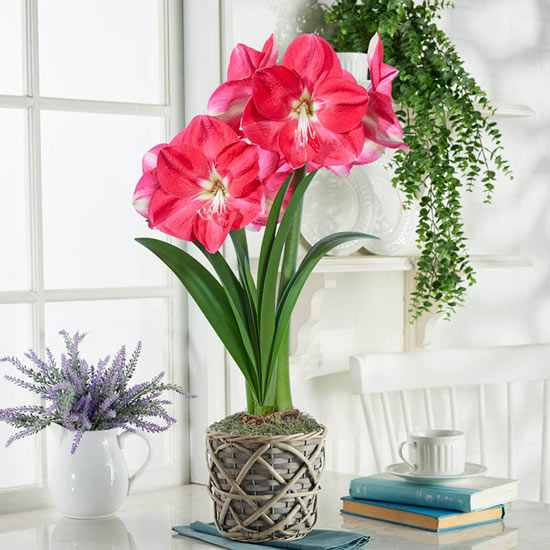 Candy Queen Amaryllis