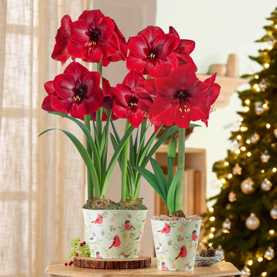 Miracle Amaryllis in Winter Birds Pot