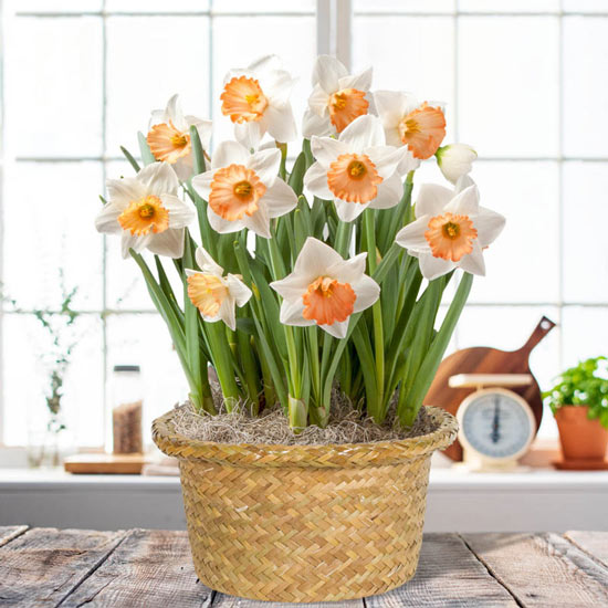 Daffodil Mystery Bulb Basket