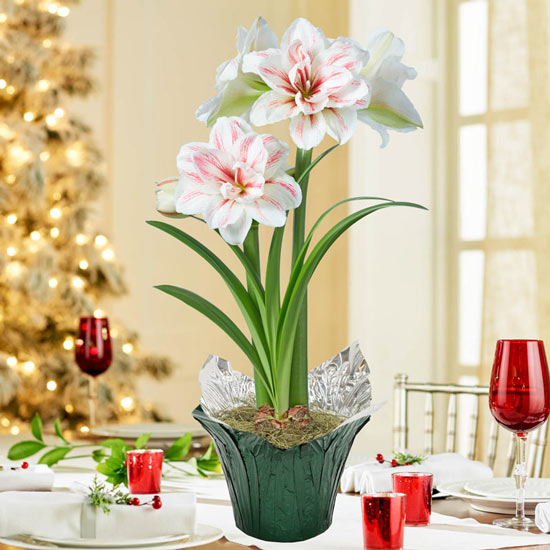 Aquaro Amaryllis Single in Foil Wrapped Pot