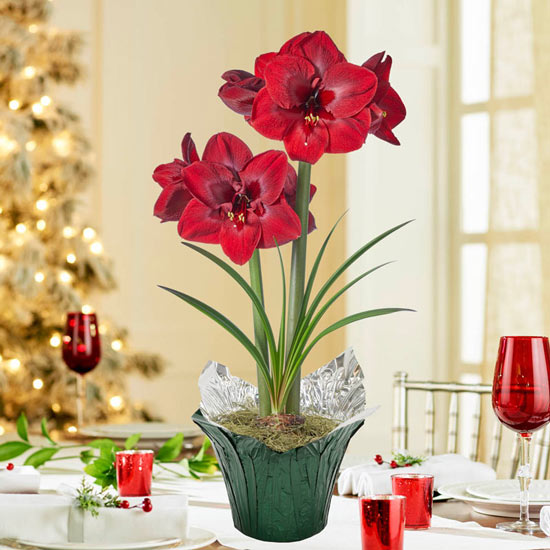 Carmen Amaryllis Single In Foil Wrapped Pot