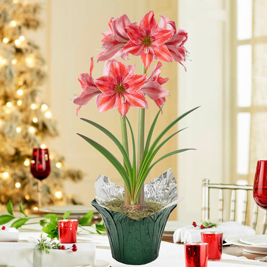 Pajama Party Amaryllis Single in Foil Wrapped Pot