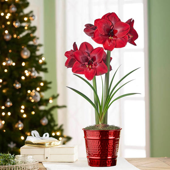 Carmen Amaryllis Single in Red Pot