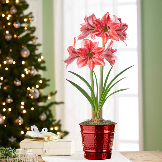 Pajama Party Amaryllis Single in Red Pot