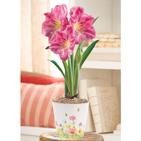 Candy Floss Amaryllis in Spring Garden Pot