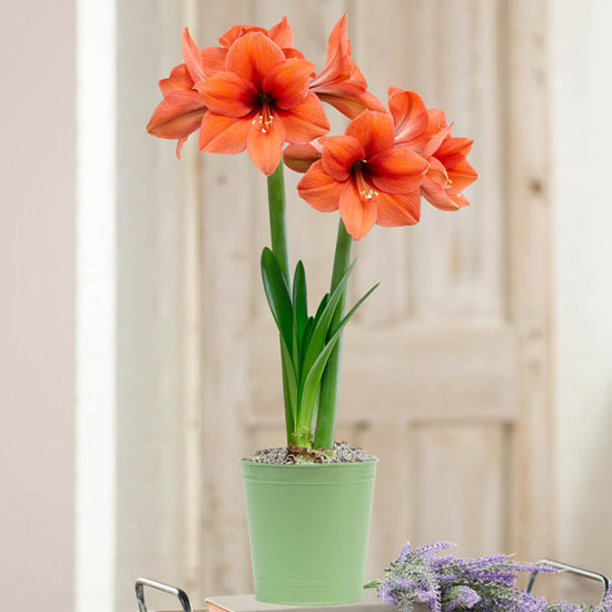 Desire Amaryllis in Pistachio Green Pot