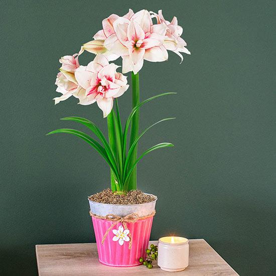 Elvas Amaryllis in Floral Tin