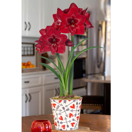Red Reality Amaryllis in Love Hearts Pot