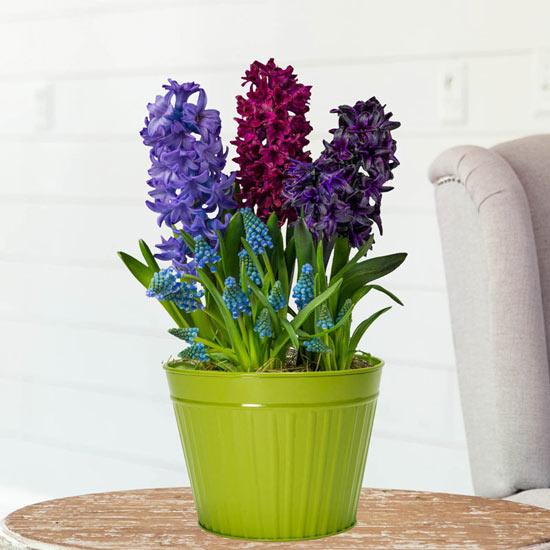 Hyacinths and Muscari Bulb Garden