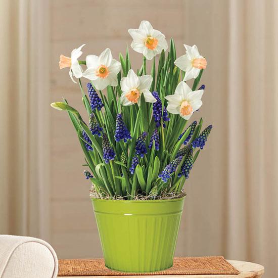 Daffodils and Muscari Bulb Garden