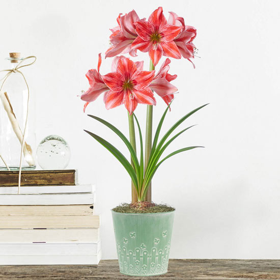 Pajama Party Amaryllis in Butterfly Garden Tin