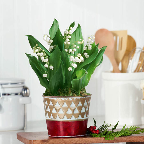 Fragrant Lily of the Valley