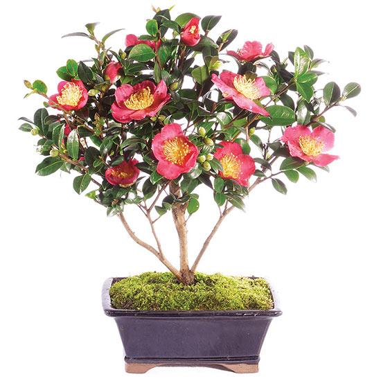 Camellia Bonsai