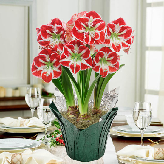 Samba Amaryllis in Foil Wrapped Pot