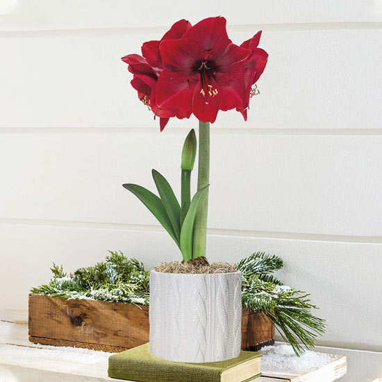 Miracle Amaryllis in Cable Knit Pot