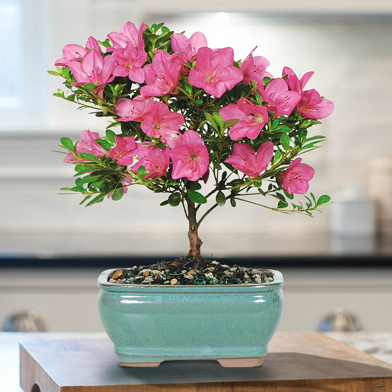 Buy Satsuki Azalea Bonsai Breck S Gifts
