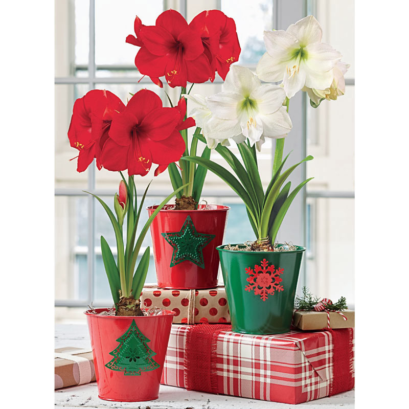 Chrisas traditions amaryllis trio for Amaryllis christmas decoration