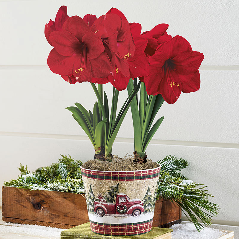 Amaryllis lovers miracle amaryllis in classic pickup planter for Planter des amaryllis