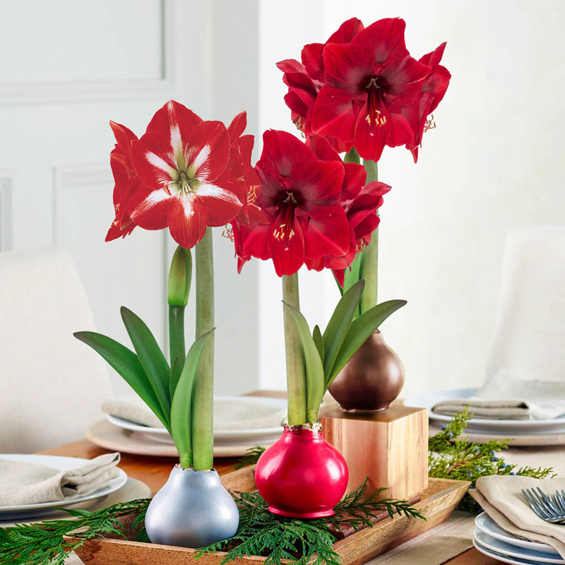 Waxed Amaryllis - Easy-Care Holiday Flowers | Brecks Gifts