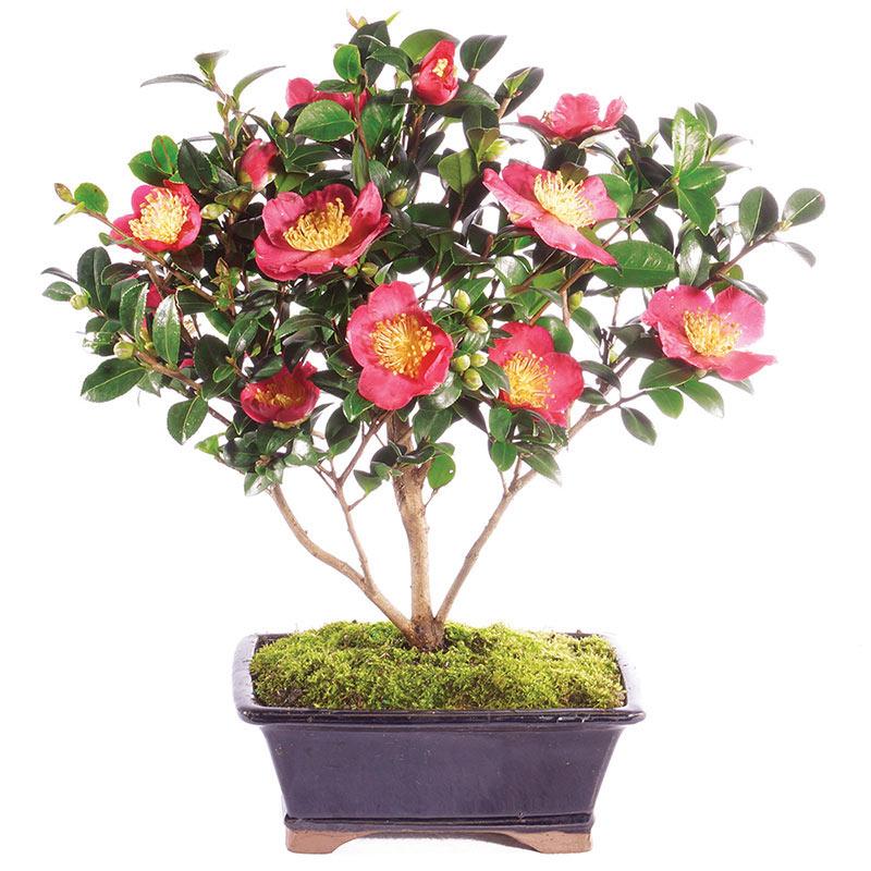 Camellia Bonsai Miniature Indoor Tree Breck S Gifts
