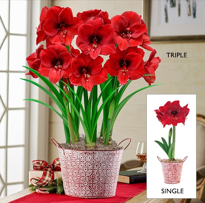 Miracle Amaryllis Single and Triple