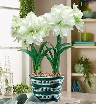 Amaryllis care guide