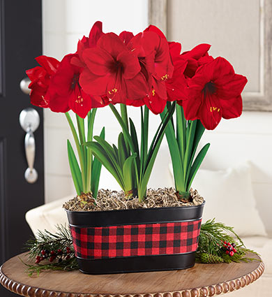 Amaryllis Care Guide Breck S Gifts