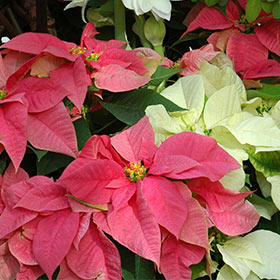 Poinsettia vs. Amaryllis