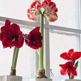 Amaryllis are Awesome