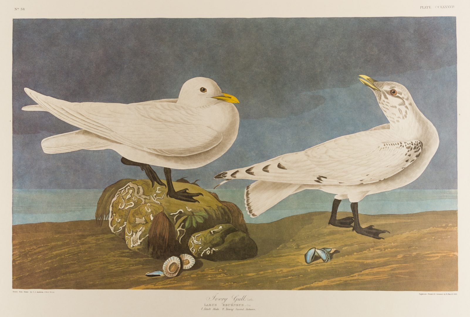 Lot 453: Group of 10 Amsterdam Audubon Prints