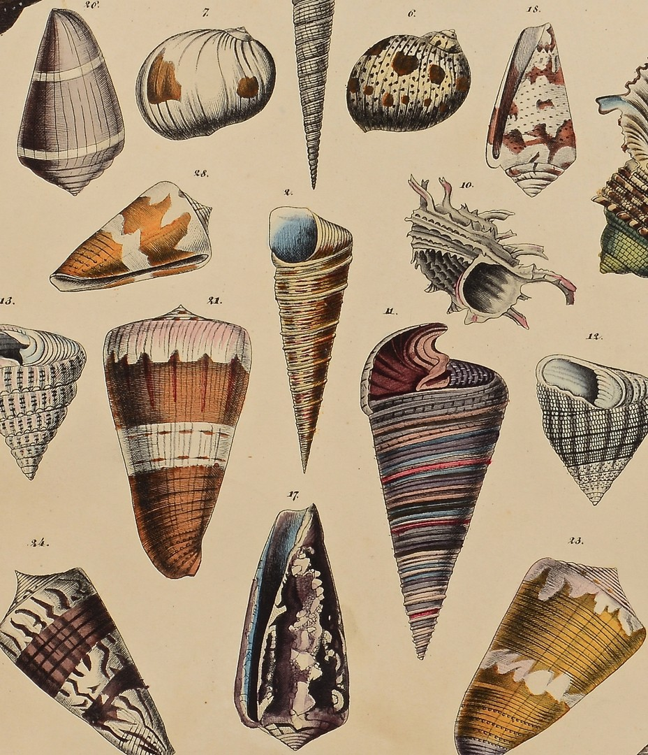 Lot 243: 3 Sea Shell and Coral Prints