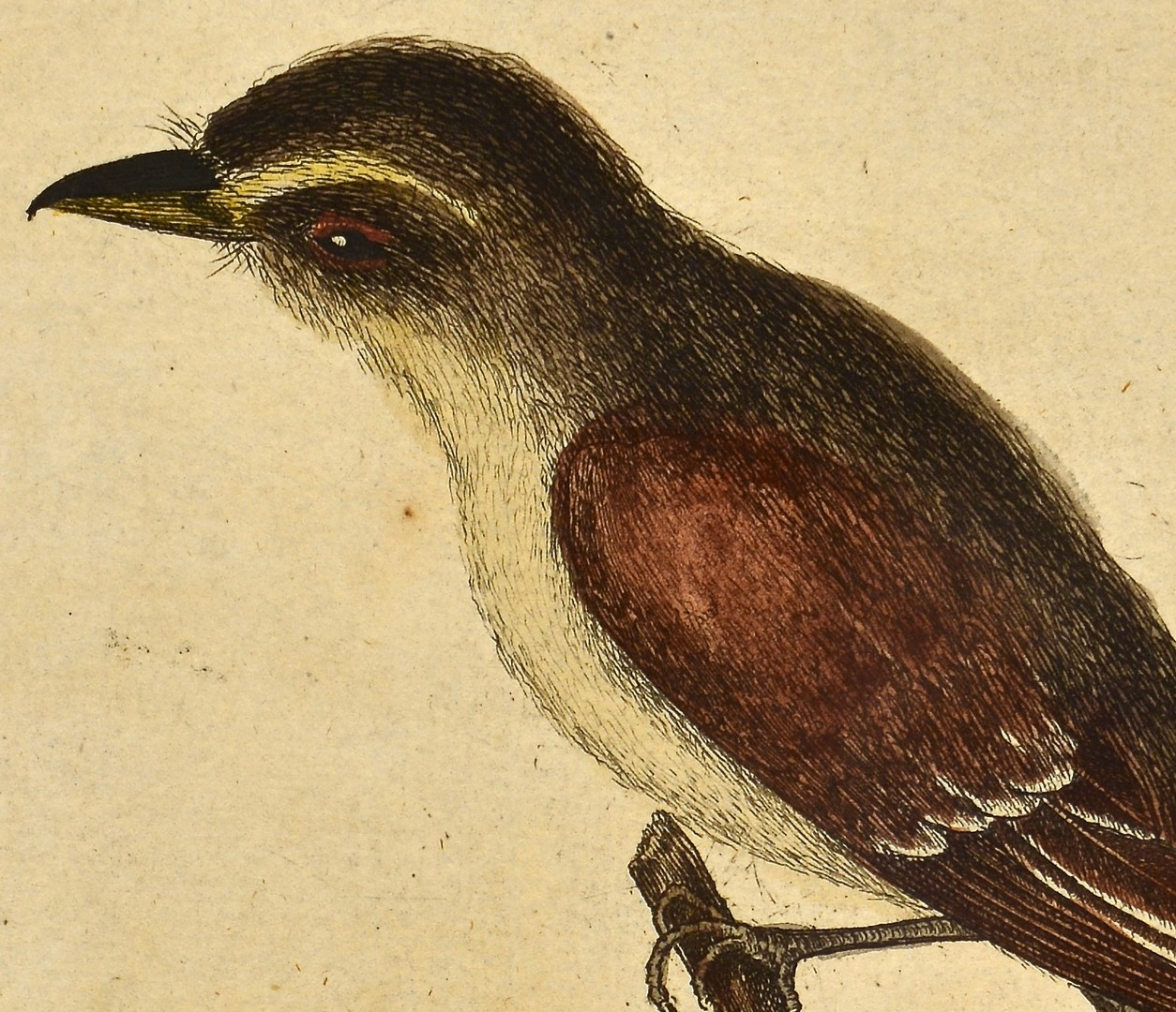 Lot 245: Pr. Mark Catesby Colored Engravings