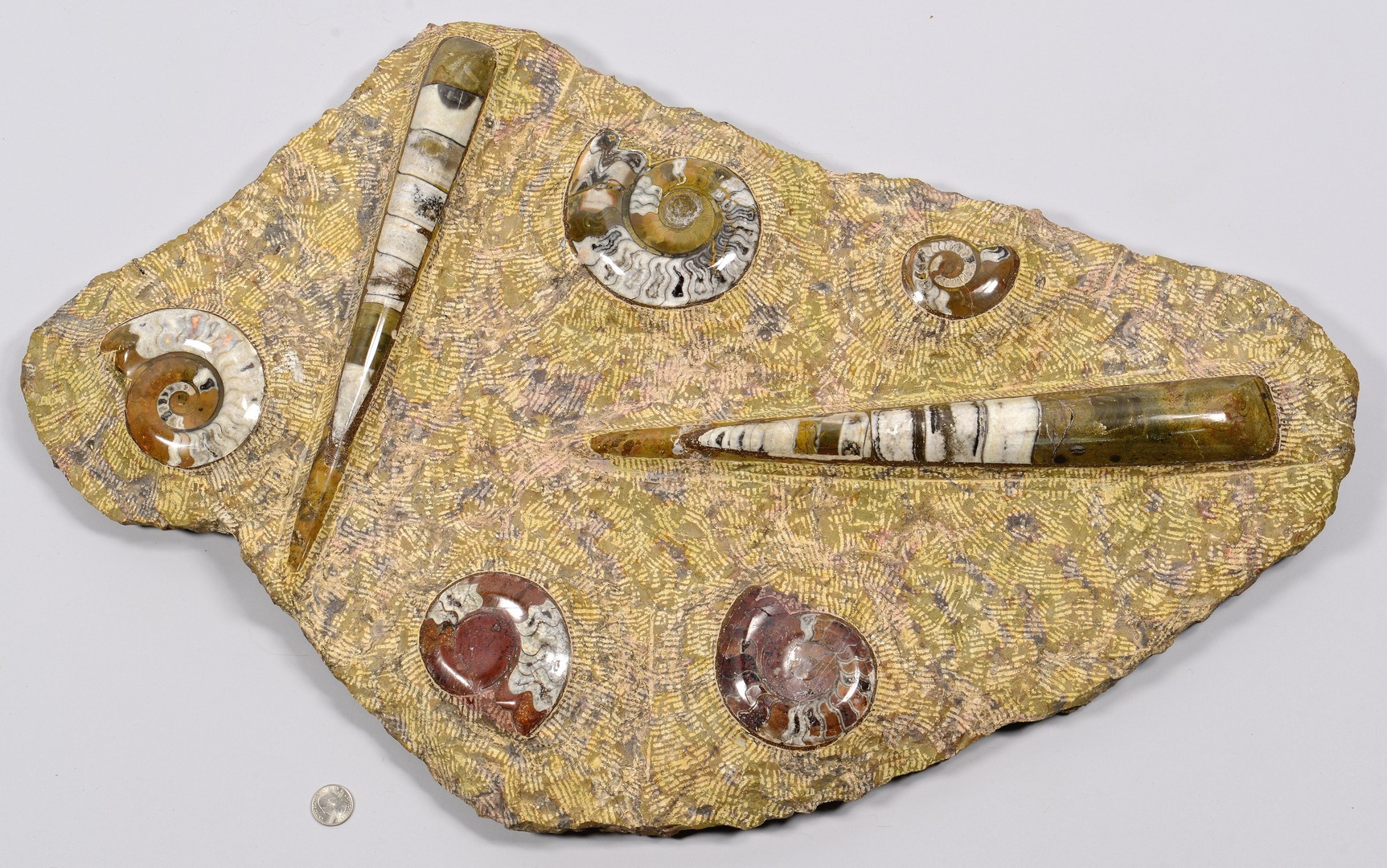 Lot 862: Fossil Slab with Nautilus & Shells