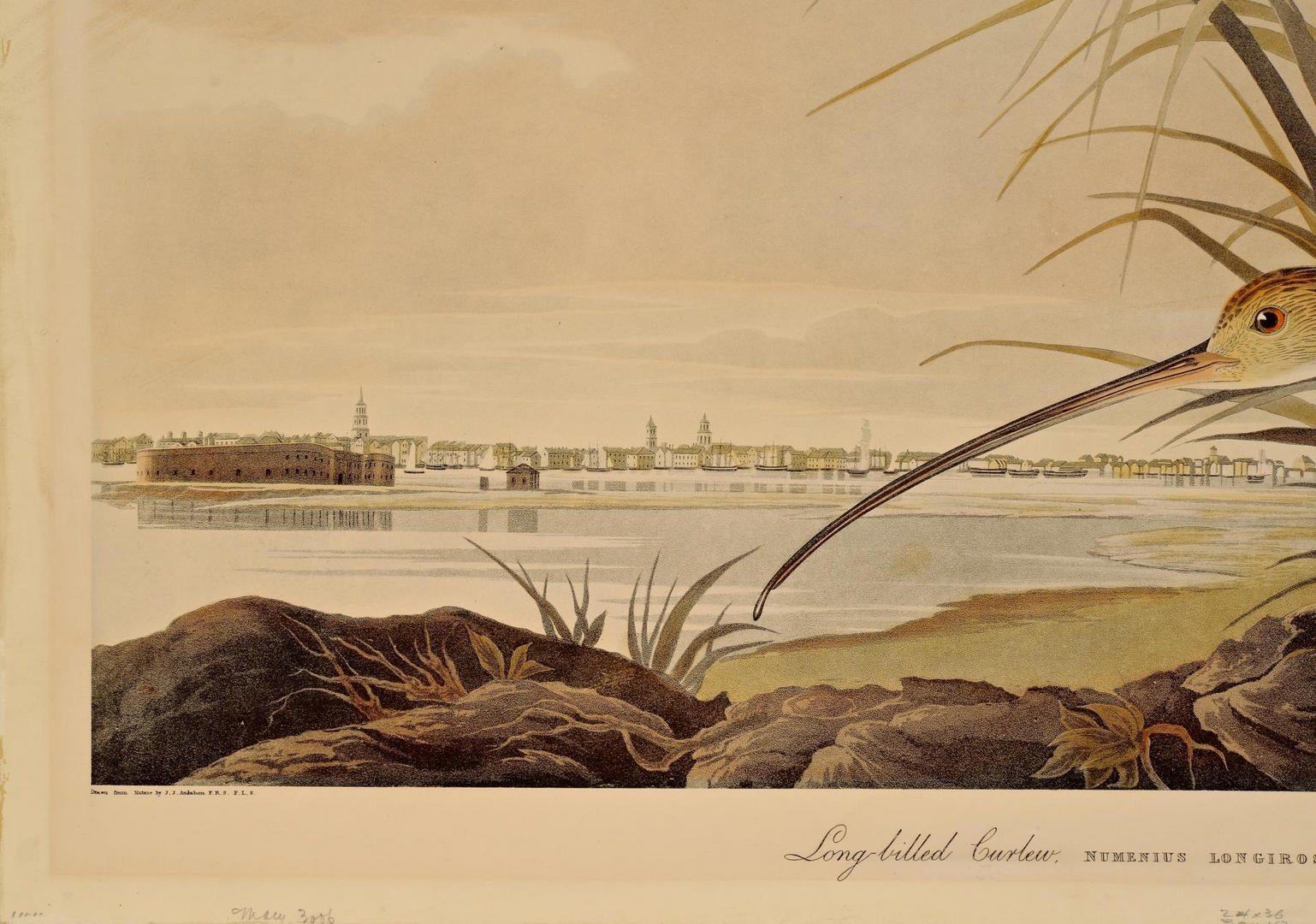 Lot 101: After Audubon, Long Billed Curlew