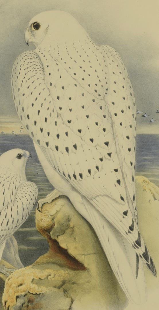 Lot 95: Pr Falcon Lithographs w/ Book
