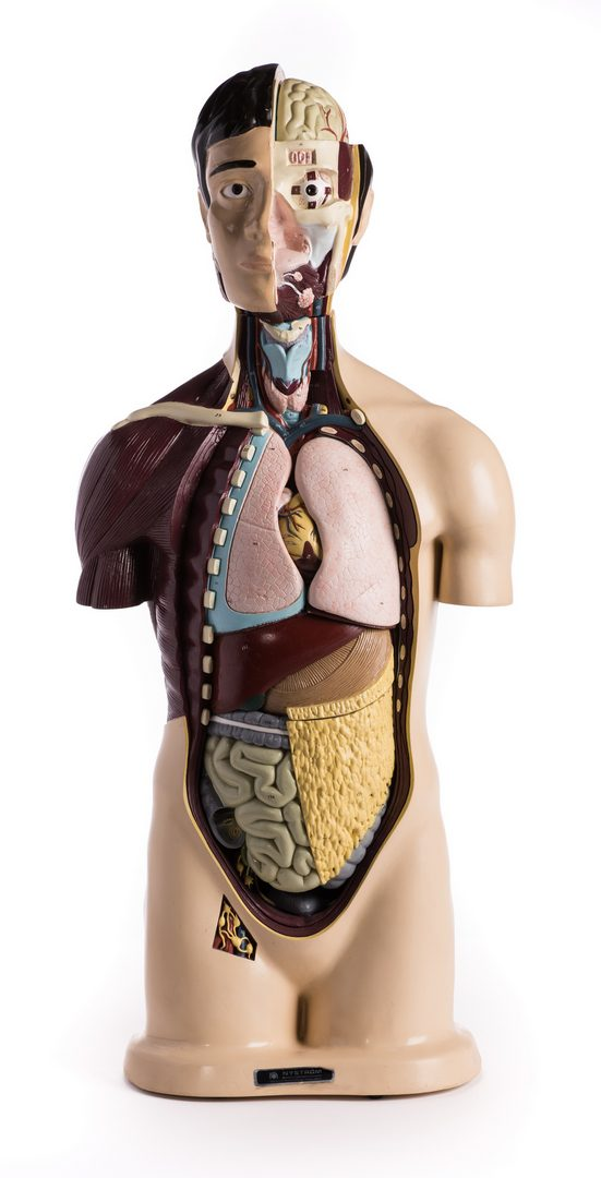 Lot 181: Nystrom Anatomical Torso Model