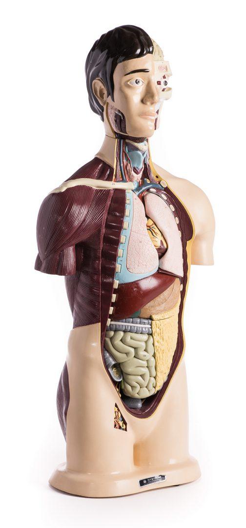 Lot 181: Nystrom Anatomical Torso Model