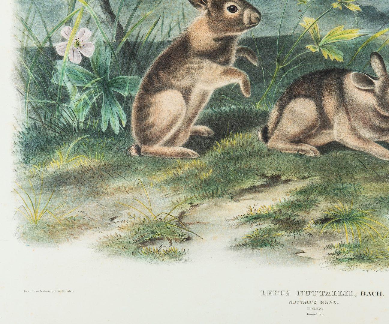 """Lot 736: Audubon Nuttal's Hare Lithograph, 27"""" x 21"""""""